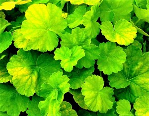 Żurawka 'Northern Exposure Lime'    -  Heuchera 'Northern Exposure Lime'