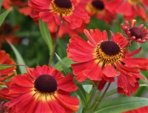 Dzielżan 'Red Jewel'  -  Helenium 'Red Jewel'